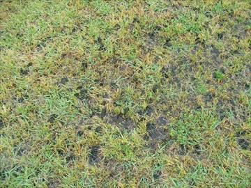 放置気味の芝生に発生したイシクラゲ(藻類)