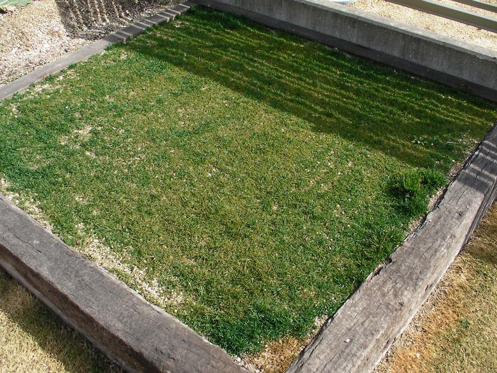 芝生の更新作業2