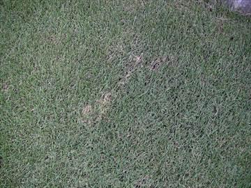 芝生の害虫の痕跡