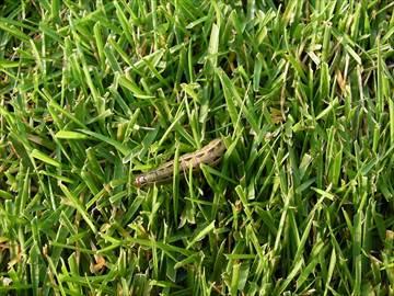 スジキリヨトウの幼虫