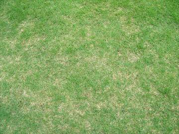 まだらに枯れた芝