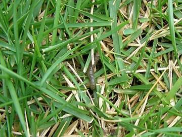 シバツトガの幼虫