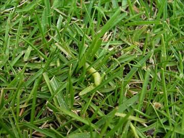 スジキリヨトウの幼齢虫