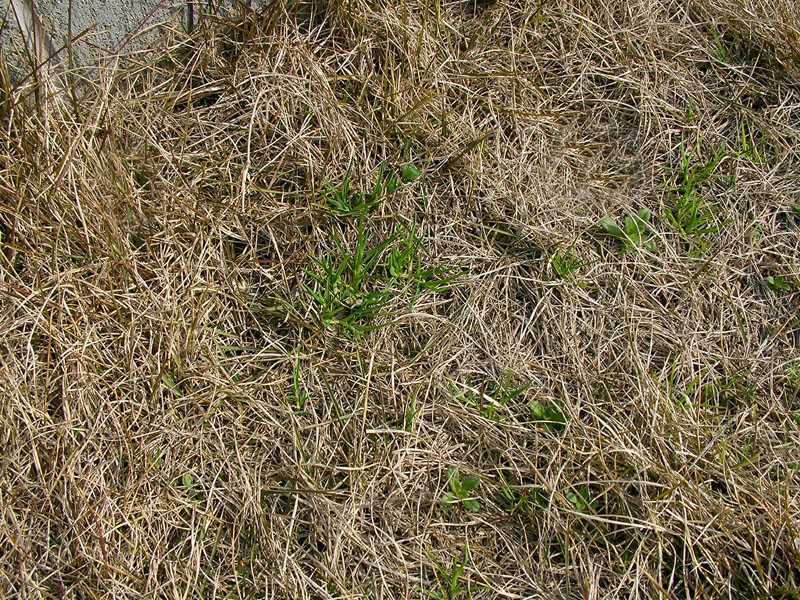 芝生の冬雑草4