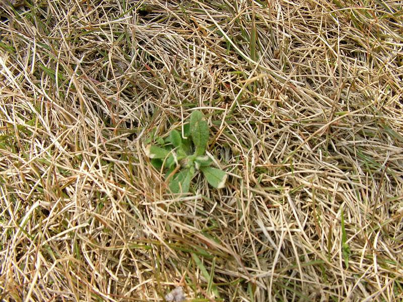 芝生の冬雑草2