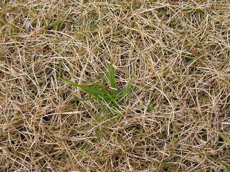 芝生の冬雑草3