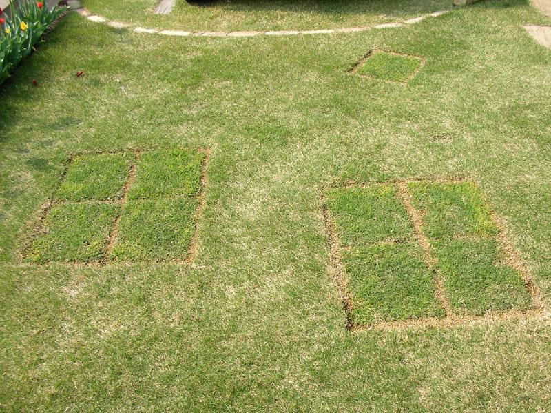 張り替えた芝生の経過報告3