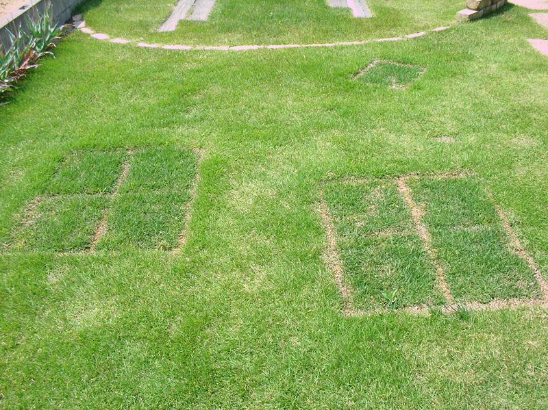 張り替えた芝生の経過報告5
