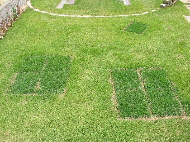 張り替えた芝生の経過報告6