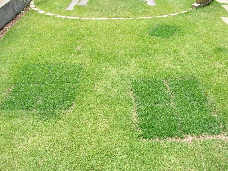 張り替えた芝生の経過報告7