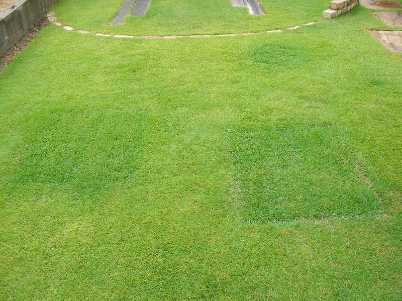 張り替えた芝生の経過報告8