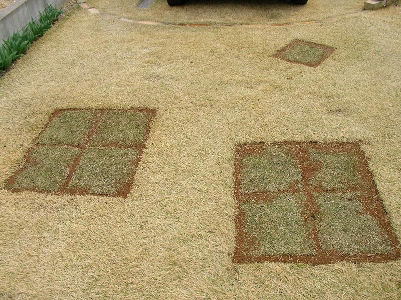 張り替えた芝生の経過報告1
