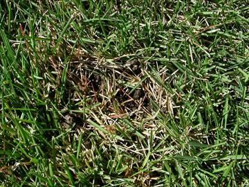 ミミズの塚の周辺で変色する芝