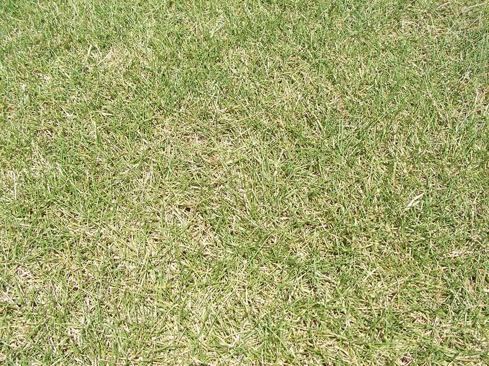 針のように細く丸まった芝