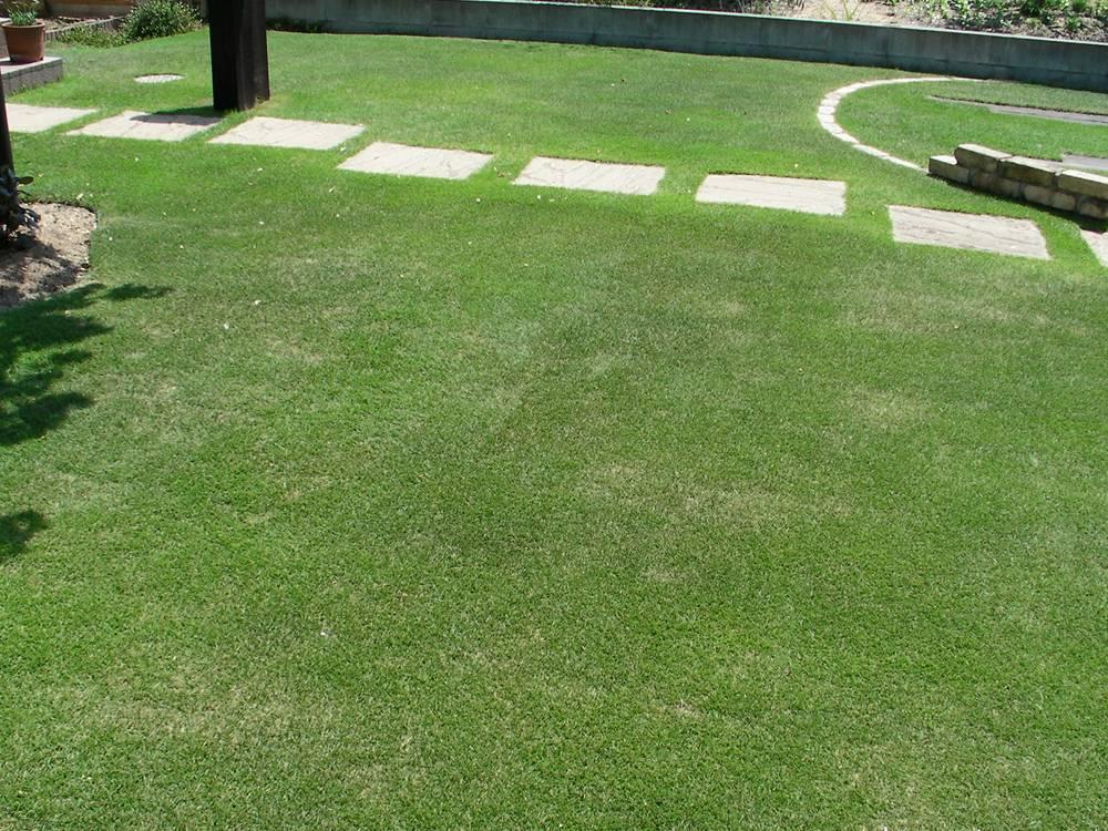 水不足で変色した芝