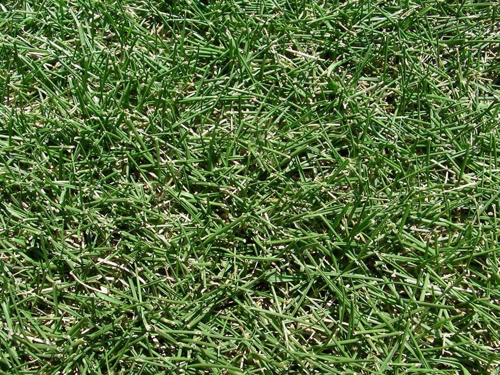 水不足で葉が巻き始めた芝