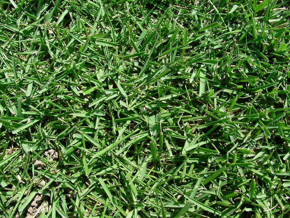 散水後に復活した芝
