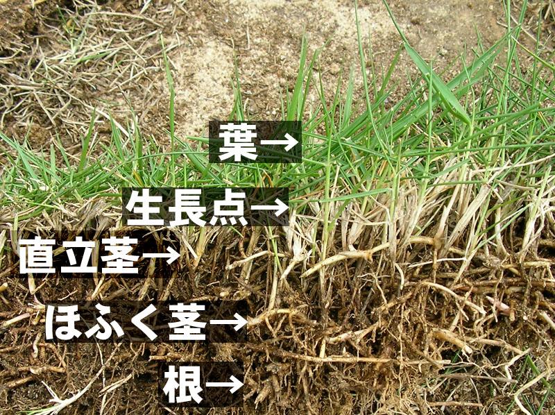 芝生の構造