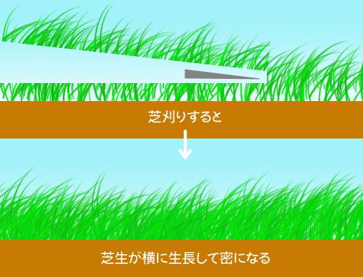 芝生が横に生長する様子