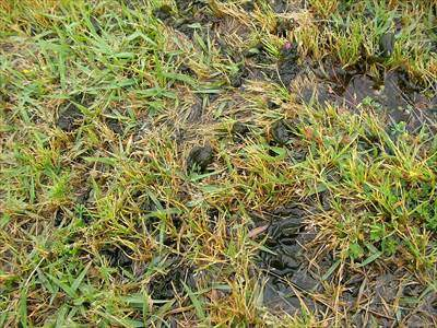 芝生の苔(コケ)対策・藻対策