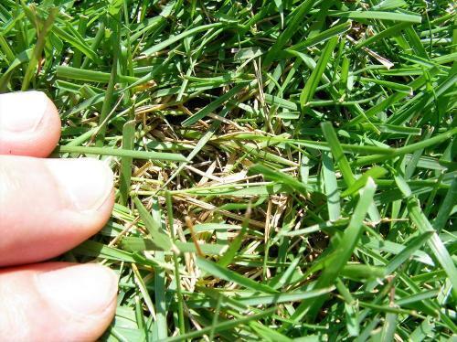 サッチ分解剤使用前の芝生の様子