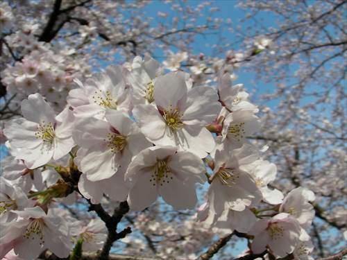 桜の咲く時期が芝張りに最も適している
