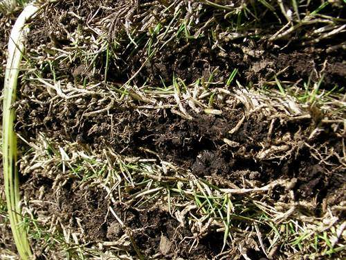 切り芝の新鮮さをチェック