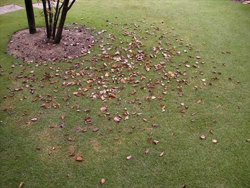芝生に落ち葉が積もると病気を助長することがある