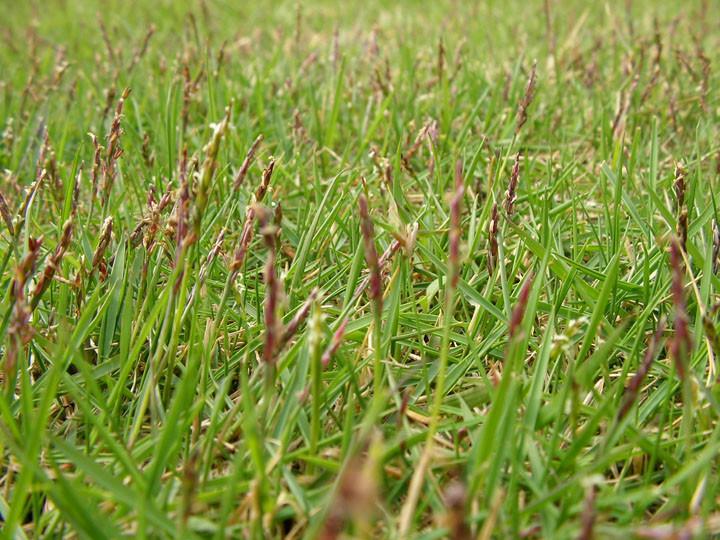 芝生に穂が生えてきた