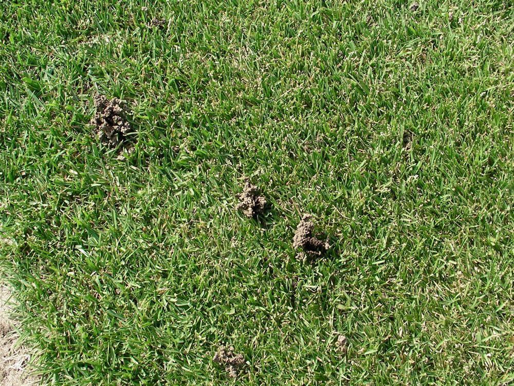 芝生にできる土の盛り上がり‐ミミズの糞塚
