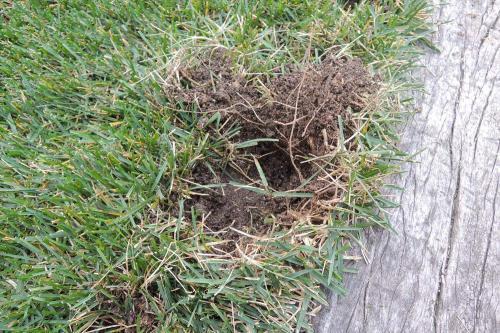 カラスが芝生を掘った穴