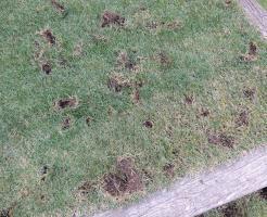 芝生をカラスがほじくり返した跡