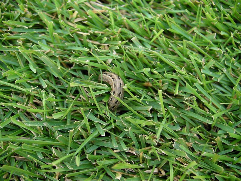 芝生の害虫対策について