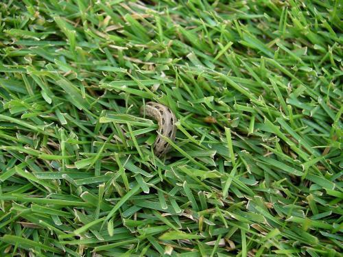 芝生の害虫 ヨトウ(蛾)の幼虫