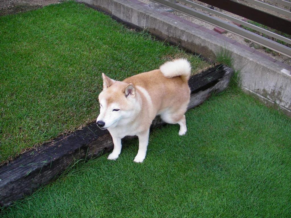犬のおしっこで芝生が枯れる