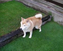 芝生におしっこをする柴犬