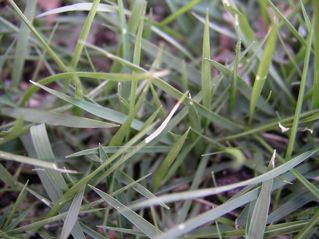 芝生の葉の先端が白く枯れる━害虫の食害