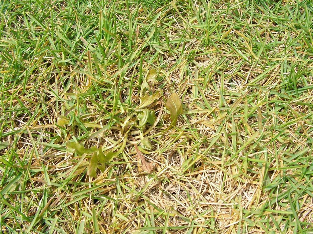 除草剤で黄化した芝生