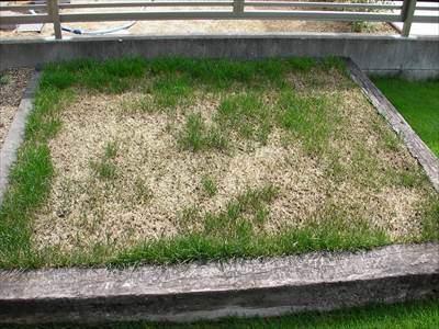 夏のストレスで大半が枯れた寒地型西洋芝