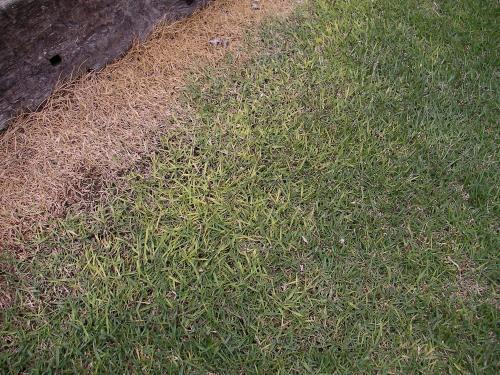 犬のおしっこで枯れと黄化が発生した芝生