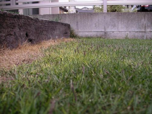 芝生は危機を察知すると穂を増やす