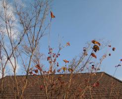 落葉が進んだヤマボウシ