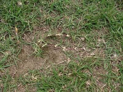 芝生のランナー(ほふく茎)