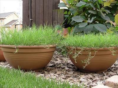 鉢からはみ出た芝生のランナー