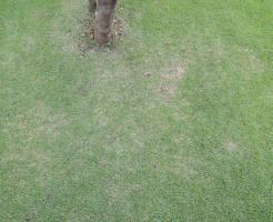 原因不明の芝生の枯れ