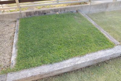 冬でも密度を保っている寒地型西洋芝