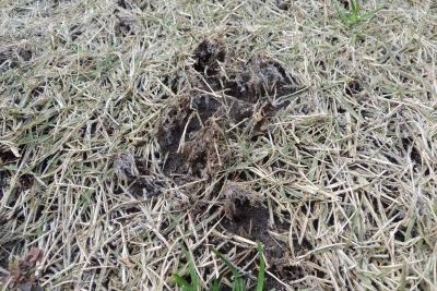 芝生の密度が低下した部分にできた霜柱