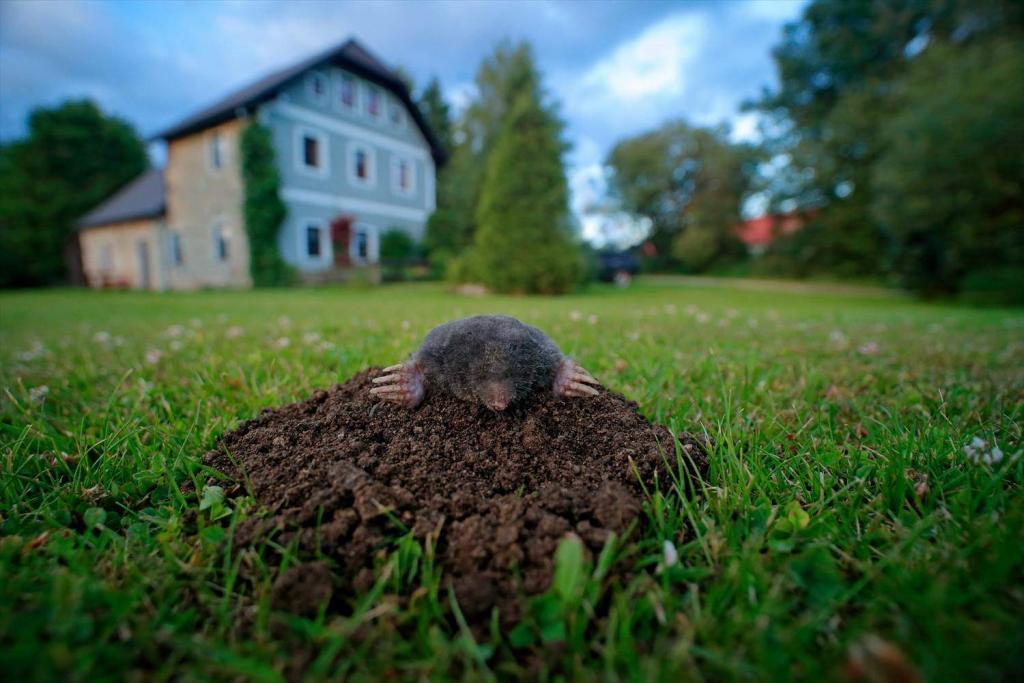 芝生のモグラ対策