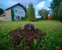 芝生を荒らすモグラ