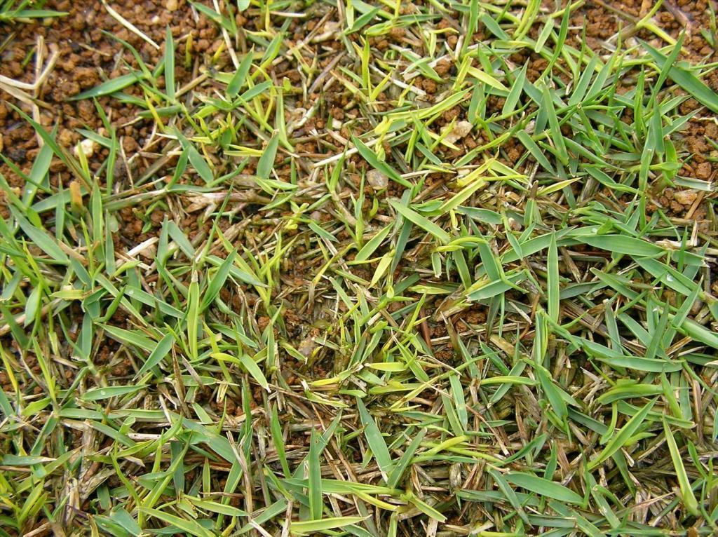 芝張り後に黄化した芝